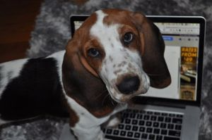 basset hound puppy with big ears