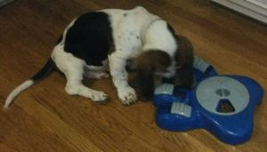 basset with interactive dog food bowl