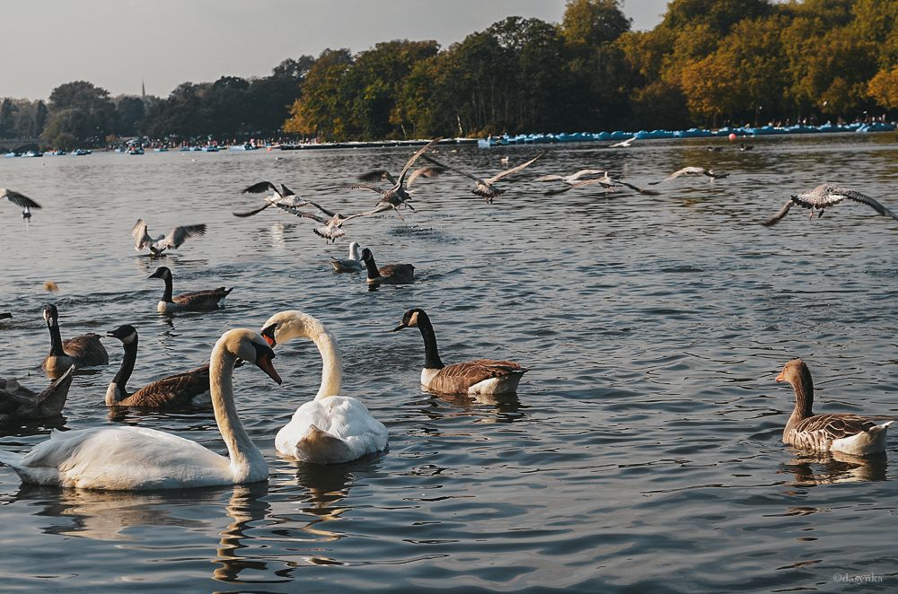 dasynka-hyde-park-fashion-blogger-london-sunset-swan