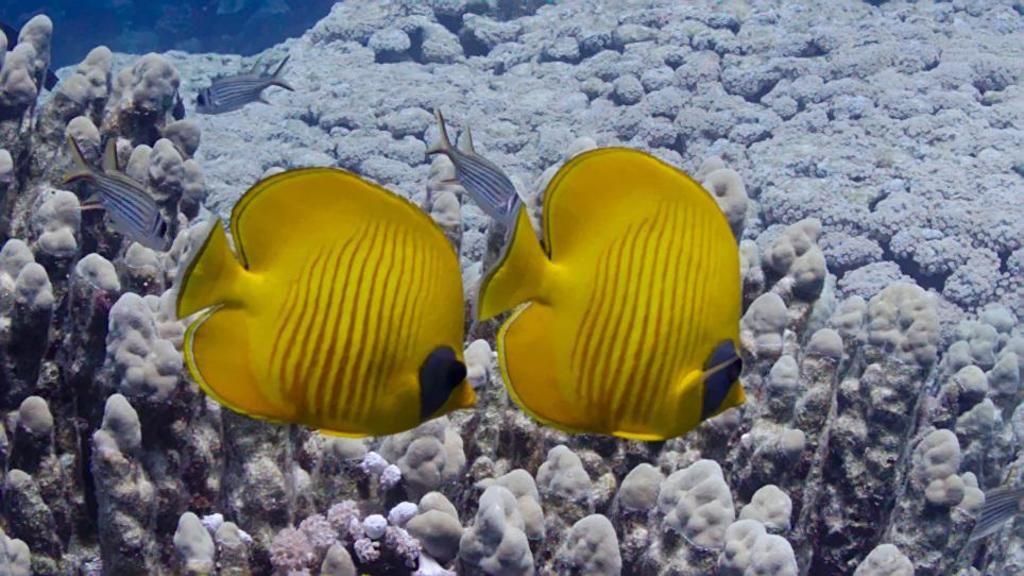 Les poissons papillons  Six minutes pour la mer rouge