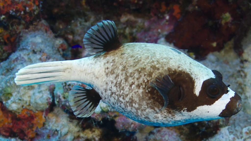 Les poissons globe  Six minutes pour la mer rouge