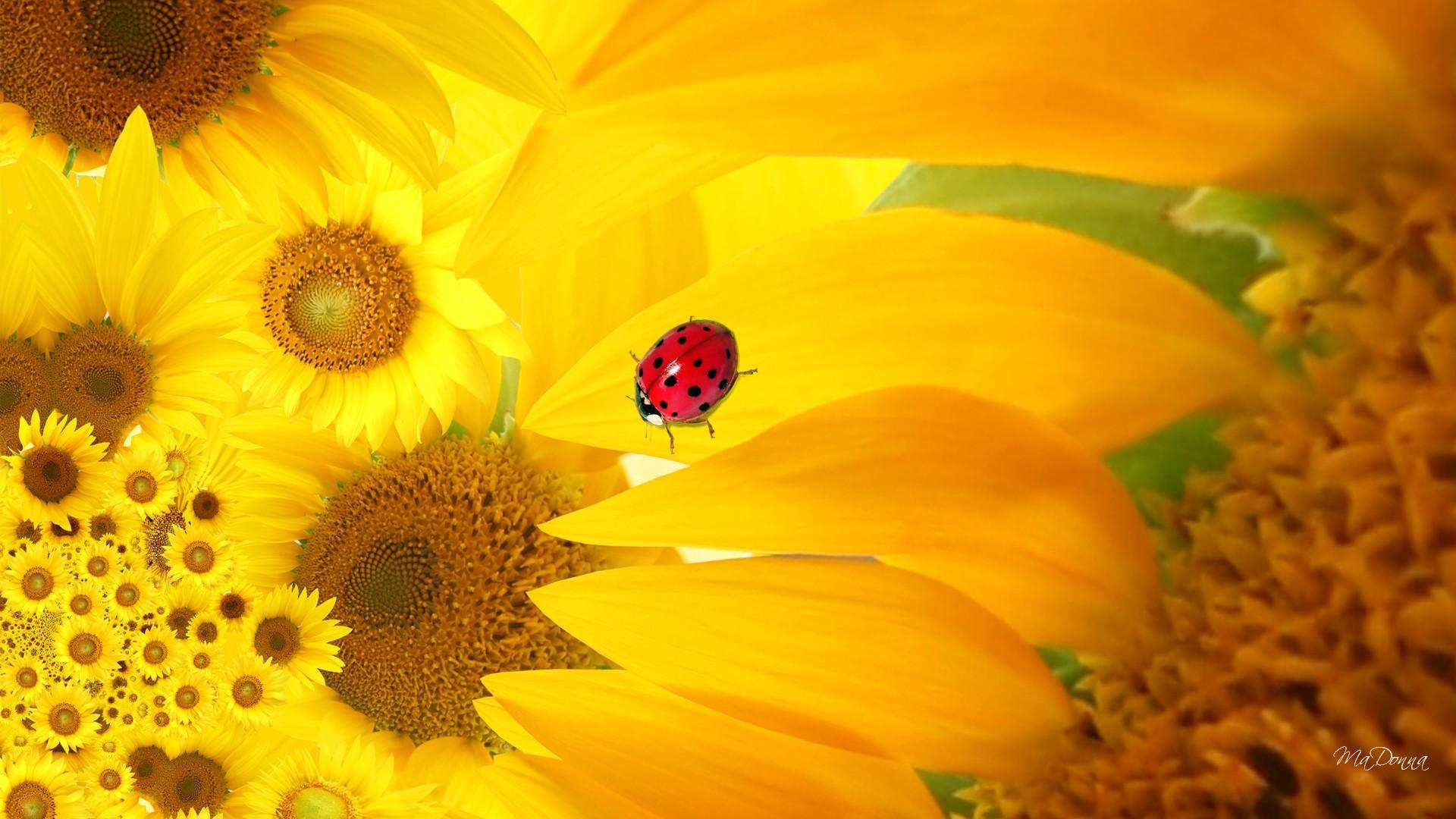 Iphone X Moving Wallpaper From Commercial Sunflower Ladybug Hd Desktop Wallpaper Widescreen High