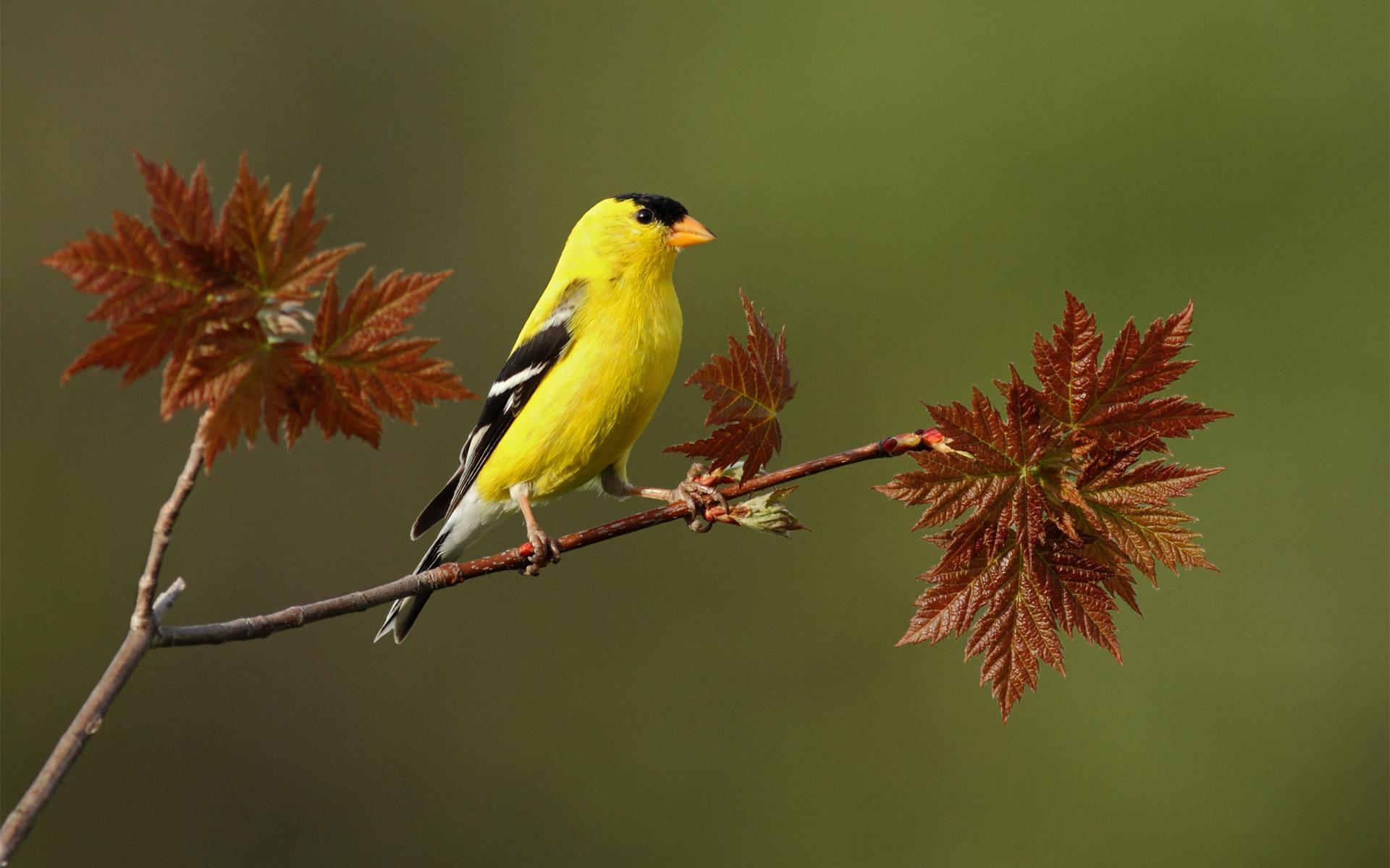 Yellow Bird On A Twig *** Hd Desktop Wallpaper