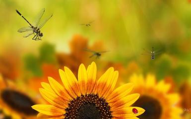 Fall Desktop Wallpaper With Sunflowers Sunflower Ladybug Hd Desktop Wallpaper Widescreen High