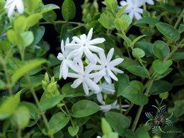 พุทธชาด Jasminum auriculatum Vahl