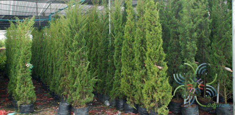 สนมังกร Juniperus chinensis L.