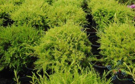 หลิวทอง Melaleuca bracteata F. Muell. 'Revolution Gold'