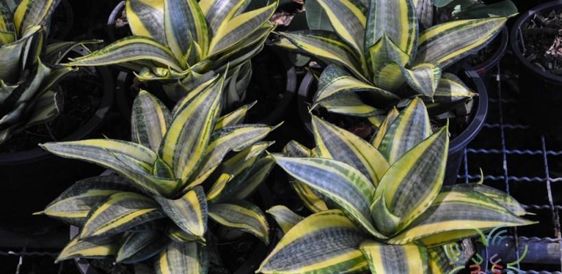 ลิ้นมังกร Sansevieria trifasciata Prain