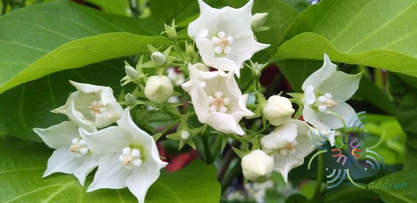 ชมนาด Vallaris glabra (L.) Kuntze