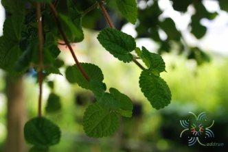 สะระแหน่ประดับ Pilea nummulariifolia (Sw.) Wedd.