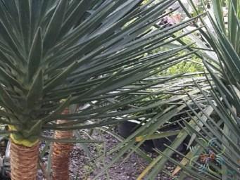 เข็มกุดั่น Yucca aloifolia L.