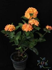 เข็มส้ม Ixora spp.