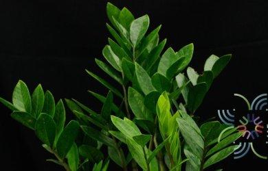 กวักมรกต Zamioculcas zamiifolia (Lodd.) Engl.