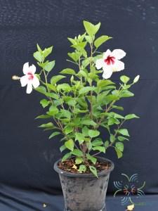 ชบาฮาวายขาวไส้แดง Hibicus hybrid
