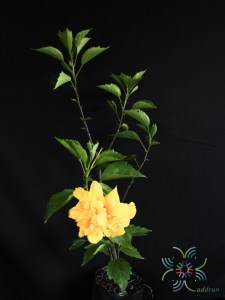ชบาฮาวายซ้อนสีเหลือง Hibicus hybrid