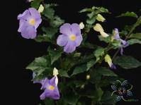 ช้องนาง Thunbergia erecta (Benth.) T.Anderson
