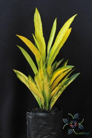 โกสนจิตรดา Codiaeum variegatum (L.) Rumph. ex A.Juss.