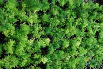 ปริกน้ำค้าง Asparagus densiflorus (Kunth) Jessop