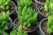 ปริกหางกระรอก Asparagus densiflorus (Kunth) Jessop. 'Myers'