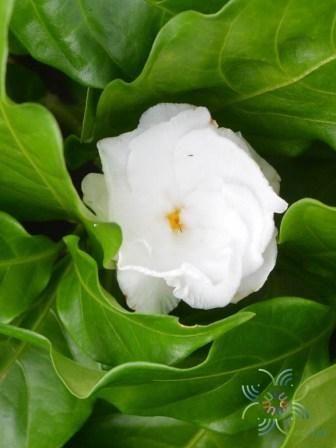 พุดกุหลาบ Tabernaemontana divaricata (L.) R.Br. ex Roem. & Schult.