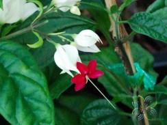 มังกรคาบแก้ว Clerodendrum thomsoniae Balf.f.