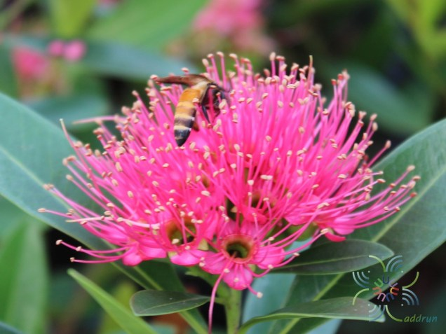 รักแรกพบ Xanthostemon chrysanthus (F.Muell.) Benth.