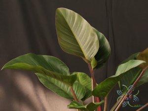 ฟิโลเดนดรอน เรดคองโก Philodendron spp.