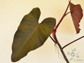 ฟิโลเดนดรอน มรกตแดง Philodendron erubescens