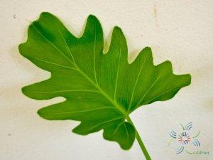 ฟิโลเดนดรอน ซานาดูใบสั้น #2 Philodendron xanadu