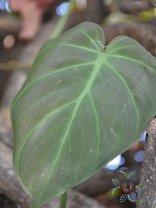 ฟิโลเดนดรอน ใบหัวใจ Philodendron hederaceum (Jacq.) Schott