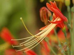ว่านมหาลาภ Eucrosia bicolorKer Gawl.