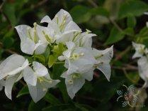 เฟื่องฟ้า สีขาว #1 Bougainvillea hybrid