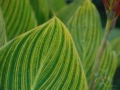 พุทธรักษา สีเหลือง #2 ใบลาย Canna indica L.