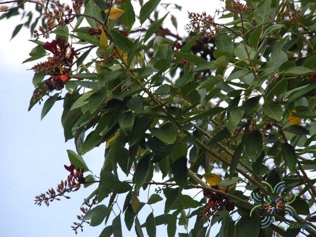ทองหลางกินใบ Erythrina fusca Lour.