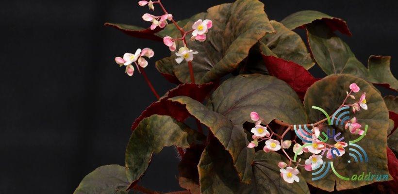 บีโกเนีย ช็อคโก้ Begonia spp.