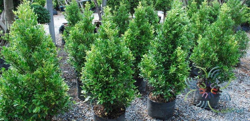 ไทรเกาหลี Ficus annulata Blume