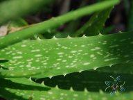 ว่านหางจระเข้ Aloe vera (L.) Burm.f.