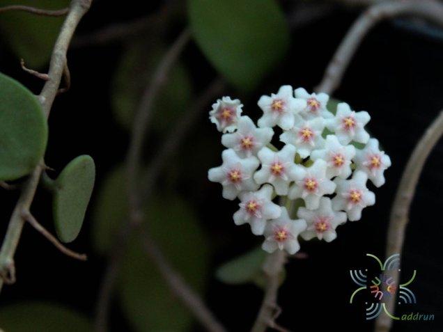 โฮย่า #1 Hoya carnosa sp.