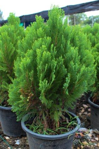สนสาหร่าย Juniperus recurva Buch.-Ham. ex D.Don