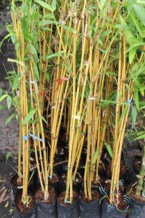 ไผ่เหลือง Bambusa vulgaris Schrad