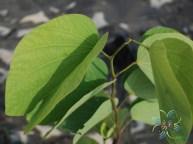 กาหลง Bauhinia acuminata L.