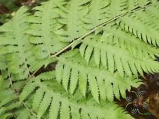 Untitled Tectaria sp.