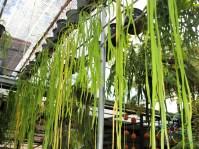 เฟินริบบิ้น Ophioglossum pendulum L.