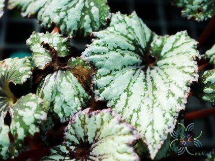 บีโกเนีย #8 Begonia rex Putz.