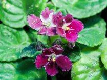 แอฟริกันไวโอเลต สีม่วง Saintpaulia sp.