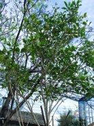 แก้วมุกดา Fagraea ceilanica Thunb.