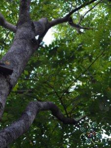 ชิงชัน Dalbergia oliveri Prain