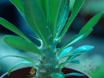 พาคีโพเดียม ลาเมเร Pachypodium lamerei Drake.