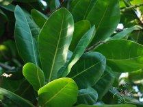 จิกทะเล Barringtonia asiatica (L.) Kurz