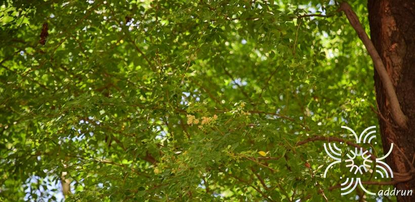 มะขามเทศ <em>Pithecellobium dulce</em> (Roxb.) Benth.